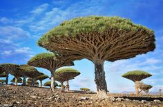 Dracaena cinnabari, the Socotra dragon tree or dragon blood tree, is a dragon tree native to the Socotra archipelago, part of Yemen, located in the Arabian Sea. It is so called due to the red sap that the trees produce. Dragon Blood Tree, Dragon Tree, World's Most Beautiful, Beautiful World, Beautiful Places, Bonsai, Dracaena Cinnabari, Dame Nature, Unique Trees