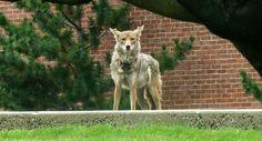 Urban Coyote Research Program