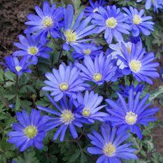 Anemone 'Blanda Blue'