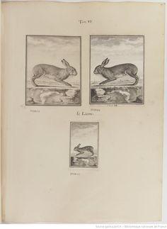 Lièvre, Figures pour l'histoire des quadrupèdes, par M. de Buffon.. Tome II / Déssins [sic] originaux par DeSeve et Buvée, avec les Gravures des Editions in12 et in4° vol. 5 à 7.   1755-1758