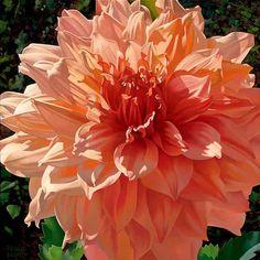 singing orange dahlia art by brian davis