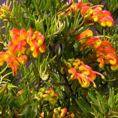 Grevillea hybrid 'Little Sparkler' is a beautiful dwarf garden shrub, with a most prolific display of globulous waxy orange and yellow flowers. Supplied in pot. Garden Express, Garden Shrubs, Sparklers, Native Plants, Yellow Flowers, Still Life, Garden Ideas, Objects, Australia