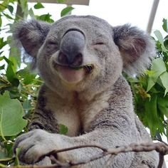 Just a happy koala bear, that is all. That Koala is high as hell from the Eculyptus leaves it ate! Smiling Animals, Happy Animals, Animals And Pets, Funny Animals, Cute Animals, Funny Koala, Cute Koala Bear, Laughing Animals, Farm Animals