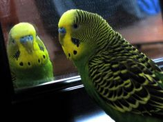 parakeet looking at himself in the mirror Hello gorgeous.  Dm xox
