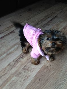 Yorkshire terrier  aww