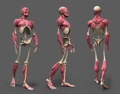 Its really tough to study Human Anatomy, such a complex thing . Studied Human Anatomy using some basic shapes, all in Z-brush with the help of my mentor. Thank you Vijay Pratap Singh Sir. 3d Anatomy, Human Anatomy Drawing, Human Body Anatomy, Anatomy Sketches, Anatomy Poses, Muscle Anatomy, Anatomy Study, Human Anatomy For Artists, Medical Anatomy