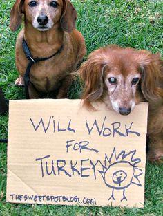 Will Work for Turkey? by The Sweet Spot Blog   http://thesweetspotblog.com/will-work-for-turkey/  #thanksgiving #dachshund #turkey