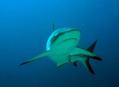 Reef sharks, like the grey reef shark pictured here, are thriving in Fiji's protected waters according to a 2013 study.