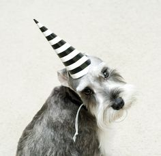 .It's my Buddy's Birthday ! 1 year old today. Nothing like a Schnauzer puppy to make you smile.