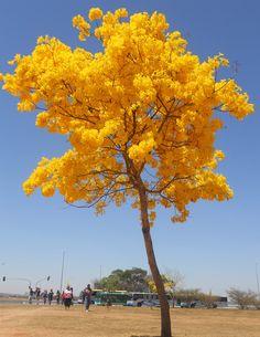 Ipe Amarelo, Brasilia, Brasil Photo by Fernando Dasilva
