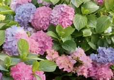 Check out the new hydrangeas for 2015! Available in store.