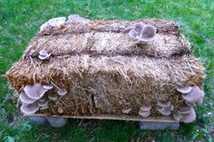 Growing blue oyster mushrooms on straw bails