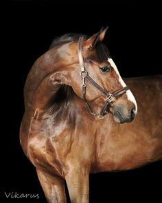 Dutch Warmblood horse Вашингтон (Washington)