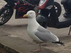 Seagull in Dartmouth