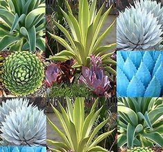 Agave Species Seeds Mix Excellent House Plants succulent Greenhouse home Indoor showy desert plants Green Plants, Cactus Plants, Cacti, Exotic Flowers, Purple Flowers, Cactus Seeds, Peonies Garden, Flowers Garden, Chrysanthemum Flower