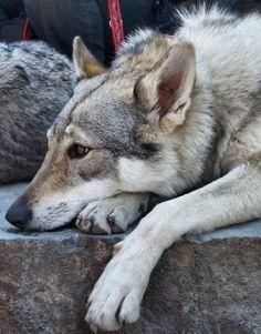 czechoslovakian wolfdog. Cross between a German shepherd and a wolf! I want one!