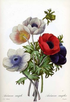 Pierre-Joseph Redouté: Anemones ... My favorites!