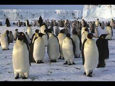 İmparatorun Yolculuğu ( imparator penguen )  Hayvan Belgesel  Hayvanlar ...