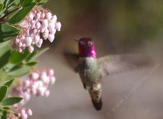 Arctostaphylos Ian Bush with an Anna Hummingbird - grid24_12