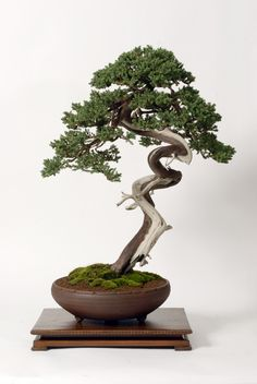 Bonsai Tree Related Keywords & Suggestions - Bonsai Tree Long Tail ...