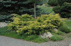 Old Gold Juniper (Juniperus x media 'Old Gold') at Connon Nurseries CBV