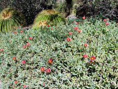 Arizona Groundcovers Images Plants
