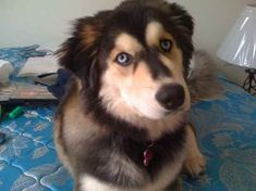 Omg. A Golden Retriever and Siberian Husky. My dream mix of a dog. (Goberian)
