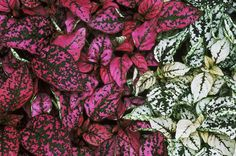 hypoestes phyllostachya syn. h. sanguinolenta of gardens 'white and rose splash' (freckle face, polka dot plant). close up of pink and white splashed foliage of plants.