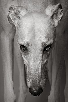 Greyhound Intensity  #greyhound #dog