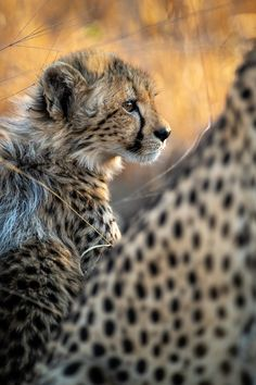 Photograph by Ross Couper Cheetah Cubs, Virtual Games, Wildlife, Photograph, Animals, Photography, Animais, Fotografie, Animales