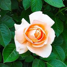 'Abbaye de Cluny' is a fast grower with big, spicy-scented apricot blooms. This tidy hybrid tea has strong upright stems perfect for cutting. Grows 3 to 4 feet tall and wide in Zones 5-10. | thisoldhouse.com