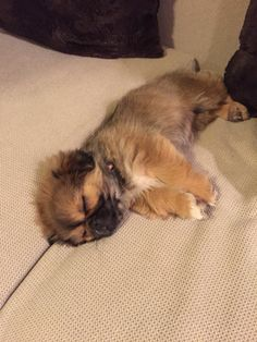 #Pekingese First day home.
