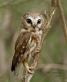 Northern Saw-Whet Owl by Steve Gilchrist. What a face! Owl Bird, Bird Art, Pet Birds, Beautiful Owl, Animals Beautiful, Cute Animals, Owl Photos, Owl Pictures, Saw Whet Owl
