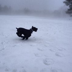 Giant Schnauzer playing in the snow <3