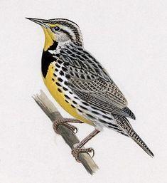 image: Western Meadowlark