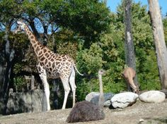 Giraffe & Ostrich, Oh my! at Lincoln Park Zoo.
