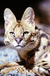 Photo of Nakuru, the Serval at Wildcat Fund.org