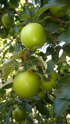 Fruits And Vegetables Pictures, Vegetable Pictures, Fruits Photos, Fruits And Veggies, Apple Garden, Fruit Garden, Citrus Trees, Fruit Trees, Corn Vegetable