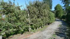 P1130787 | by UBCgarden Espalier Fruit Trees, Sidewalk, Country Roads, Explore, Side Walkway, Walkway, Walkways, Pavement, Exploring