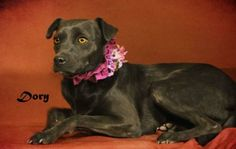 06/15/14~~Dory Terrier  Beagle Mix • Young • Female • Small Animal Welfare Society of Kerr Co/Freeman Fritts Kerrville, TX