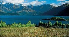 Vineyard near Queenstown NZ