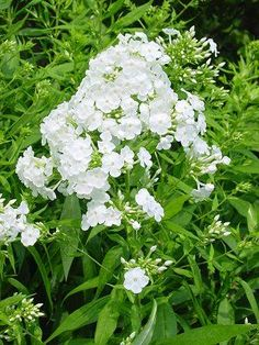 Phlox 'David' --- pure white, fragrant summertime flowers that bring butterflies to your yard. Zones 4-8