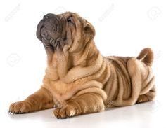 shar pei puppies - Google Search