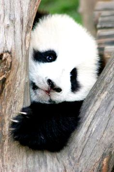 Animals Wallpaper For IPhone And Android Baby Panda