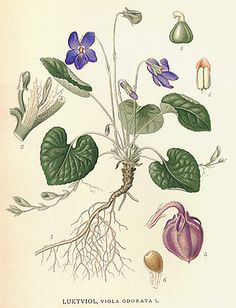 About Sweet Violet flowers uses and benefits. Sweet violet flowers are strongly associated with love. Fun facts and superstitions about the Sweet Violet. Vintage Botanical Prints, Botanical Drawings, Botanical Illustration, Botanical Flowers, Botanical Art, Botanical Gardens, Impressions Botaniques, Illustration Botanique, Sweet Violets