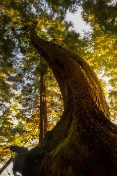 ~~The Twisted One | beautiful light falls upon a majestic tree |  by Carlos Rojas~~