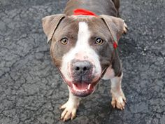 TO BE DESTROYED - 03/28/15 Manhattan Center -P My name is KC. My Animal ID # is A1029981. I am a male gray and white pit bull mix. The shelter thinks I am about 2 YEARS old. For more information on adopting from the NYC AC&C, or to find a rescue to assist, please read the following: http://urgentpetsondeathrow.org/must-read/