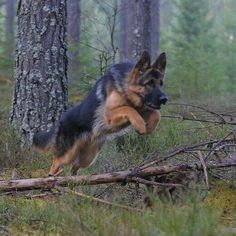 over the river and through the woods comes a german shepherd dog