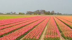 Tulpen in Holland.   Www.trans4mate.nl