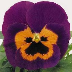 Inspire Purple with Orange Pansy - Annual Flower Seeds. From Swallowtail Garden Seeds.